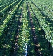 张裕的优质葡萄原料基地