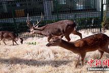 台湾梅花鹿、长鬃山羊