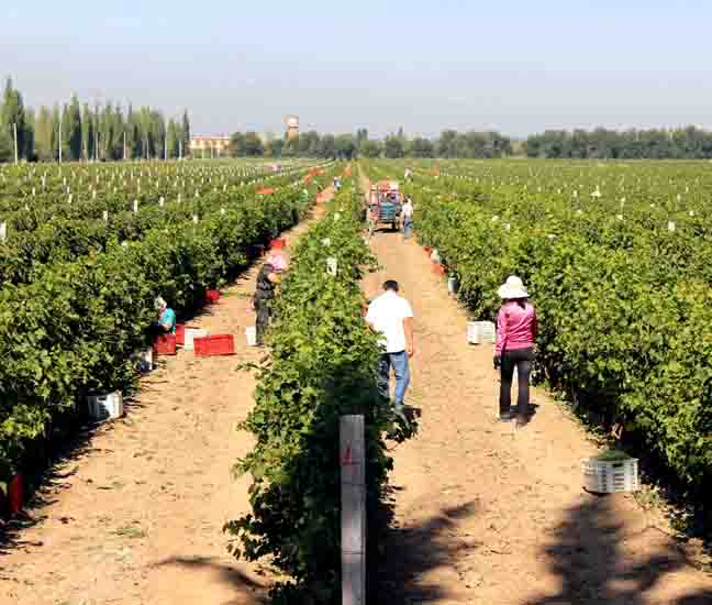 张裕回应葡萄酒农残:每天喝百瓶也无损健康