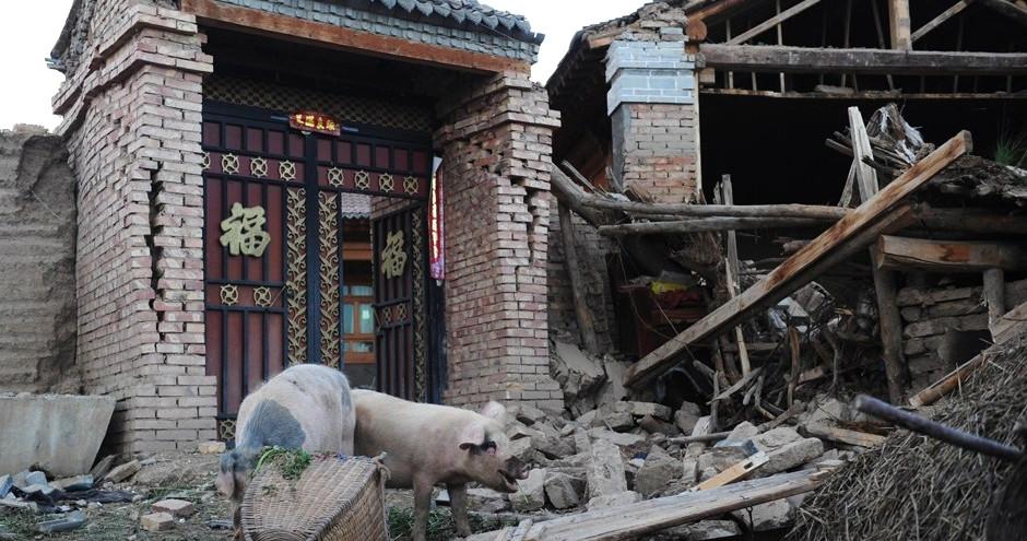 """岷县地震废墟上的""""猪坚强"""""""