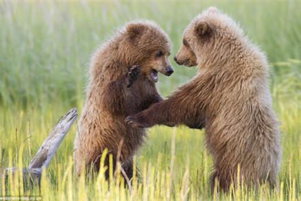 拳击小熊奉献巅峰对决