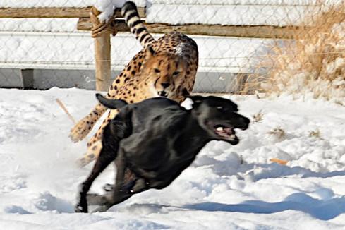 猎豹与小狗竞赛长跑你追我赶