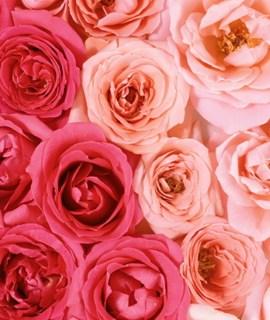 情人节将来临玫瑰价格涨