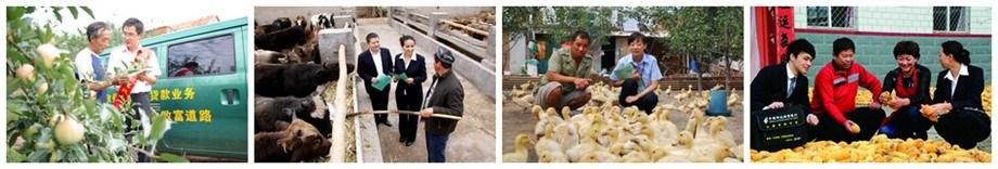 山东分行金融知识进万家信贷员调查牛羊育肥客户信贷员来到养殖农户家信贷员与客户分享丰收的喜悦