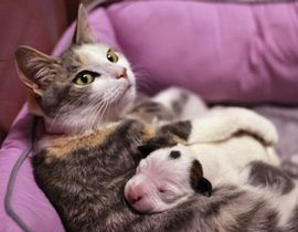 流浪猫妈妈养育小斗牛犬 温馨喂奶萌化人心