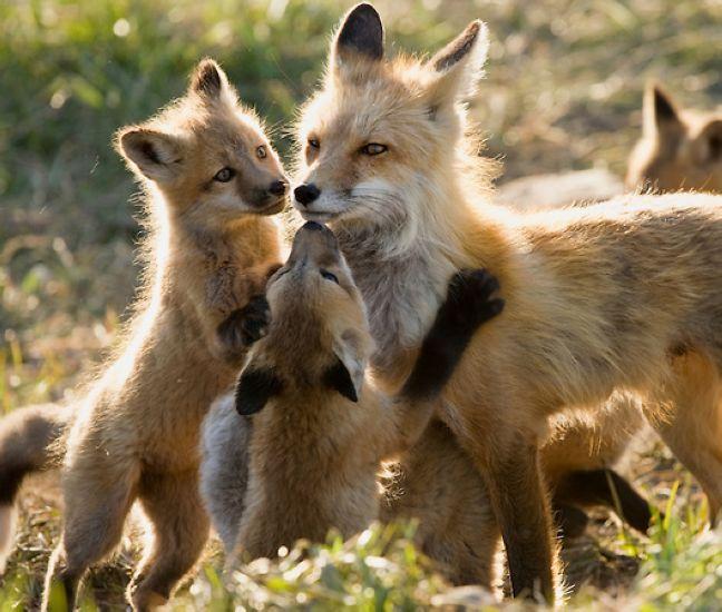 照片中这11只小狐狸面部呈金棕色,身体上仍长有胎毛.