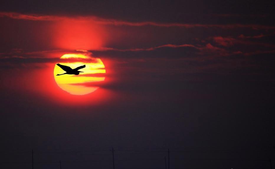 新疆哈巴河县夕阳美 白鹭飞过夕阳