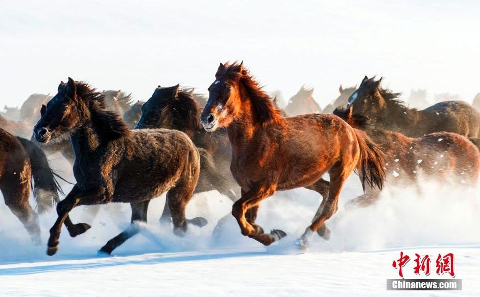 新疆伊犁天山脚下现万马奔腾 场面壮观