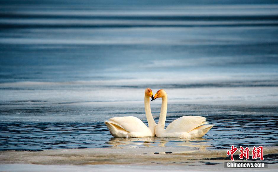 赛里木湖现天鹅嬉水美景