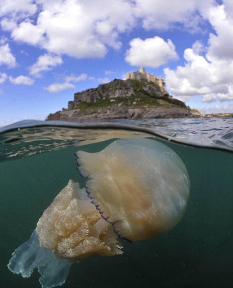 巨型水母 身长6.3英尺重约37公斤
