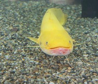 金色鲶鱼 出现几率为百万分之一