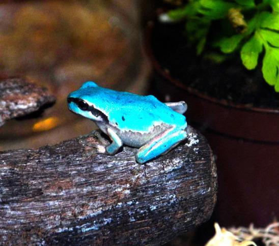 蓝色青蛙 或因变异褪去胡萝卜素