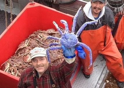 蓝色帝王蟹 吸引大批民众围观