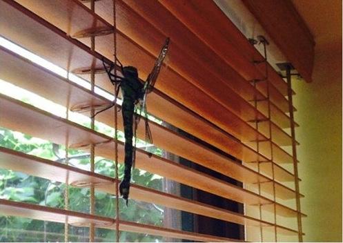 巨型蜻蜓 大如怪物吓坏主人