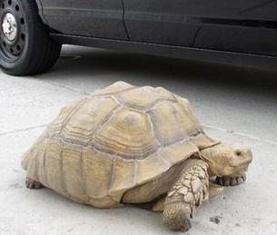 """巨型乌龟 洛杉矶街头""""散步""""重68公斤"""