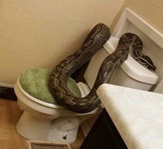 巨大蟒蛇 身长3.6米溜进卫生间吓坏妇女