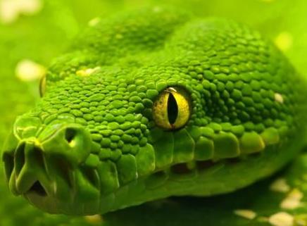绿色水蚺 头部为拳头大小