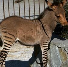 """""""斑驴""""宝宝 头像驴子腿像斑马"""