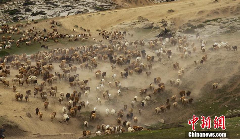 镜头记录新疆阿勒泰百万牛羊夏季大迁徙