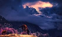 《雪山下桃花开》摄影:崔松歌