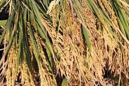 沙漠寸草难生,还能种水稻?