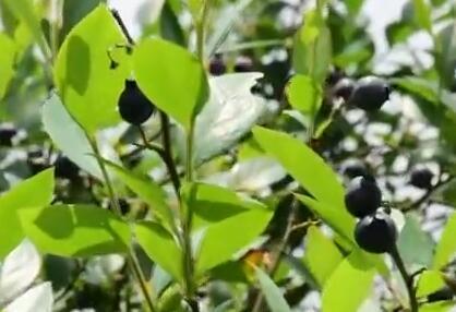 柳州农民用水果脱贫增收