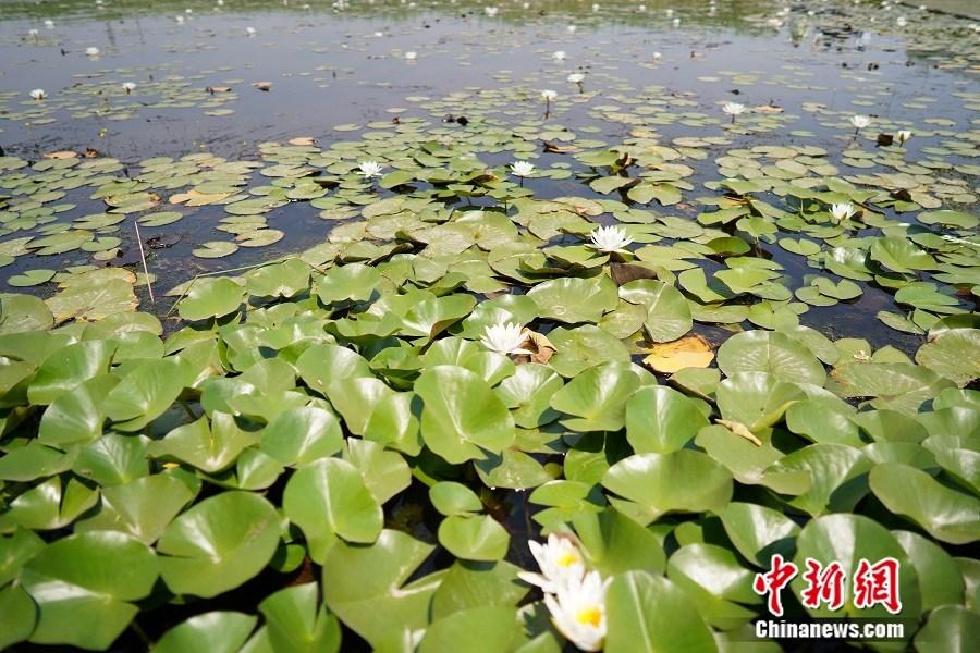园博湿地荷花盛开。中新网记者 刘湃 摄