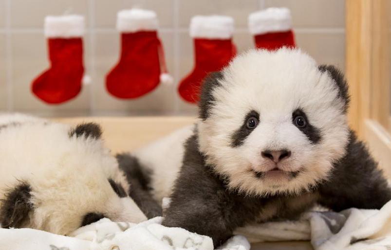 柏林大熊猫宝宝迎来第一个圣诞节