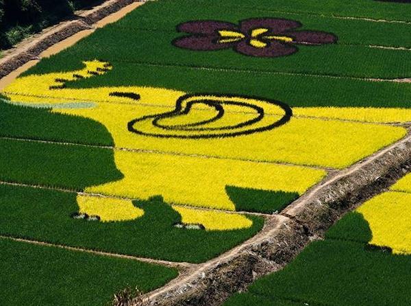 云南宜良发展乡村旅游:种植彩色水稻