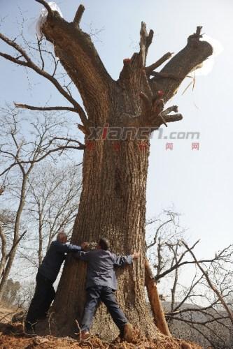 里面的营养液正在通过导管一滴一滴向古树的根部输送