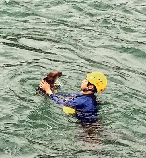 香港一小野猪浮海面引关注消防员落水将其抱起
