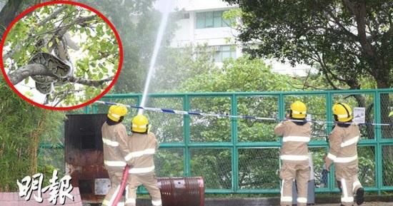 3米长蟒蛇爬上10米树香港消防用水炮射下(图)