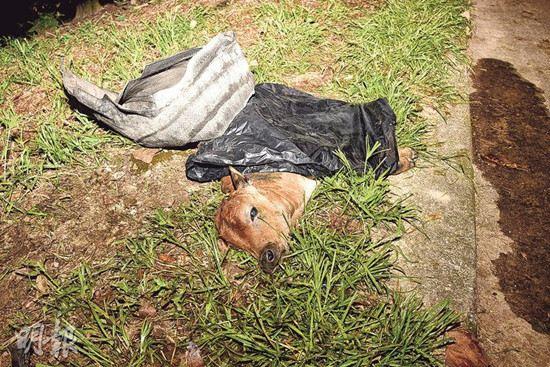 香港两头小牛疑被车撞1死1伤群牛流泪哀鸣(图)