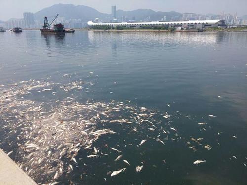 香港一海面发现大批死鱼数量以吨计算(图)