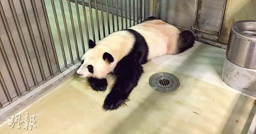 赠港大熊猫盈盈流产不影响再怀孕或有新繁殖方案