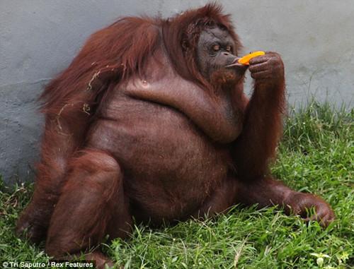 天气太炎热印尼猩猩向游人讨要冰棍解暑(组图)