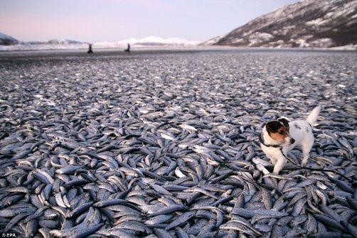 """20吨鱼集体死亡密布挪威海滩引""""末日""""担忧(图)"""