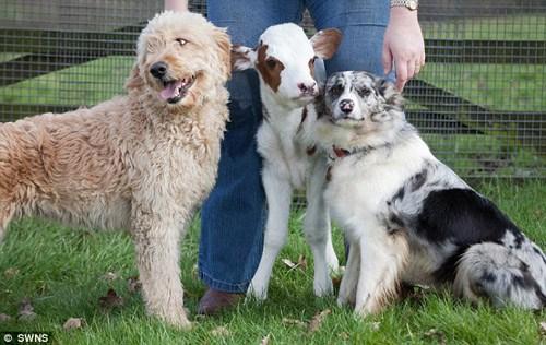 英国最迷你奶牛出生 获牧羊犬贴身护卫(图)