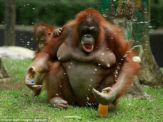 聰明紅毛猩猩自己擰開水瓶暢飲果汁消暑(組圖)(2)