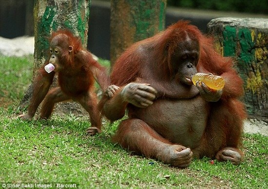 聰明紅毛猩猩自己擰開水瓶暢飲果汁消暑(組圖)(3)