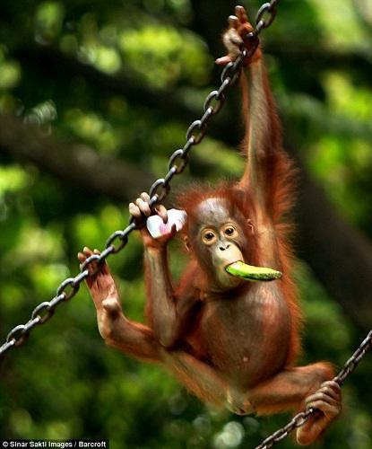 聰明紅毛猩猩自己擰開水瓶暢飲果汁消暑(組圖)(5)