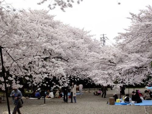 日本多地樱花盛开赏樱季节提前到来