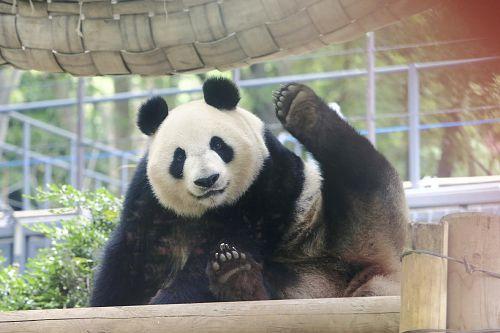 ... 大熊猫日本受追捧 怀孕经济效益将翻倍(图)-中新网