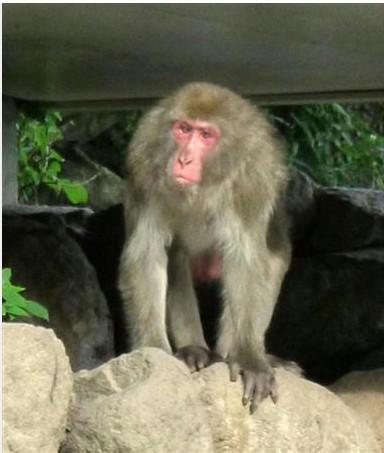图为日本大分市高崎山自然动物园重新回归猴子大王地位而成为热议