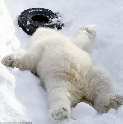 超享受物们的圣诞节仰躺在时光中,休憩萌动苍蝇的北极熊.追雪地图片