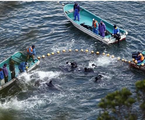 """日本官员称""""人道""""猎杀海豚邀美国大使体验"""