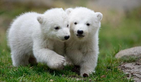 慕尼黑动物园14个月大的北极熊双胞胎邮票已然成为宝宝明星蝴蝶值多少钱图片