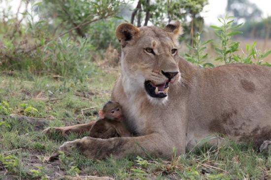 母狮咬死母狒狒后对小狒狒发慈悲 温柔逗弄(图)