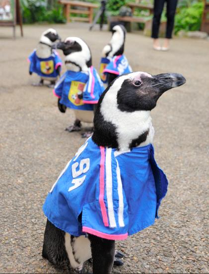 日本一公园企鹅穿上队服为日本队加油助威(图)