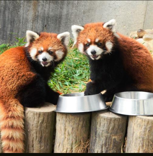 日本展出龙凤胎小熊猫 一动一静惹人爱(图)